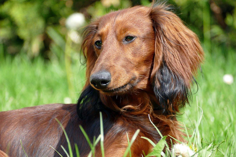 hundefilme-dachshund