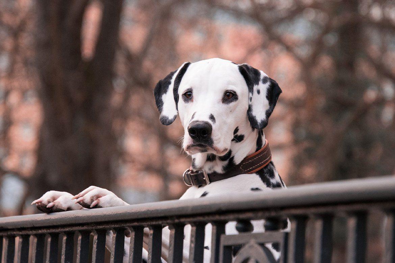 Hundefilme 2020 Dalmatiner