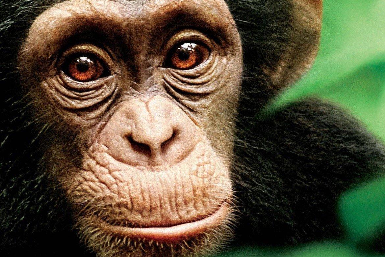Schimpansen 2012